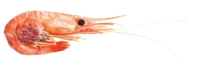 shrimp_isolated
