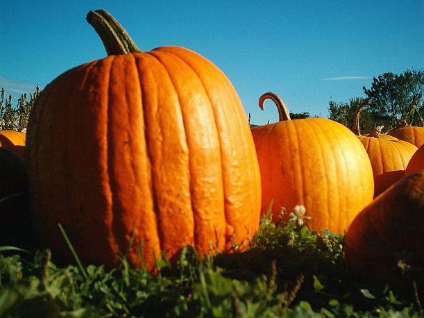 800px-Pumpkins_Hancock_Shaker_village_2418