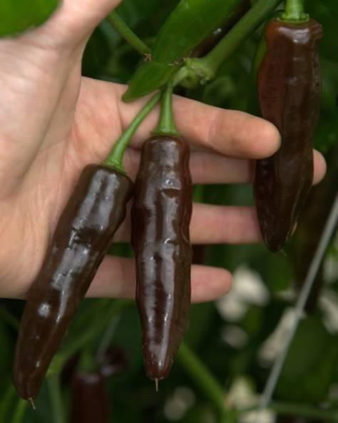 En av många chilisorter som odlas på Werfgården - Chocolate Fattalli