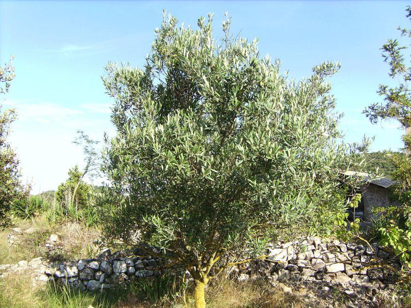 Ett vackert olivträd av arten Hojiblanca... (Foto: wikimedia commons)