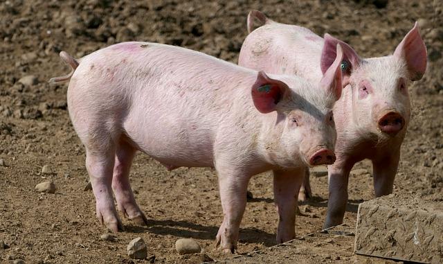 Hälsingestintan inleder samarbete med glada grisar